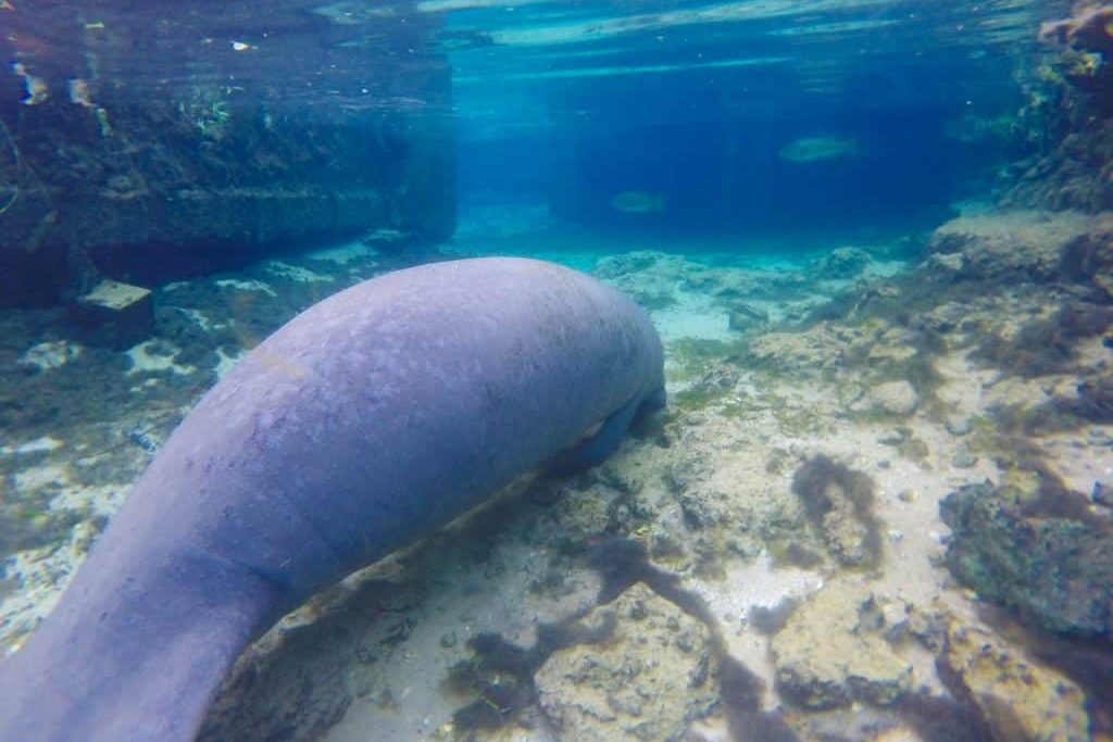 Where to Swim with Manatees in Florida Without Breaking the Law!